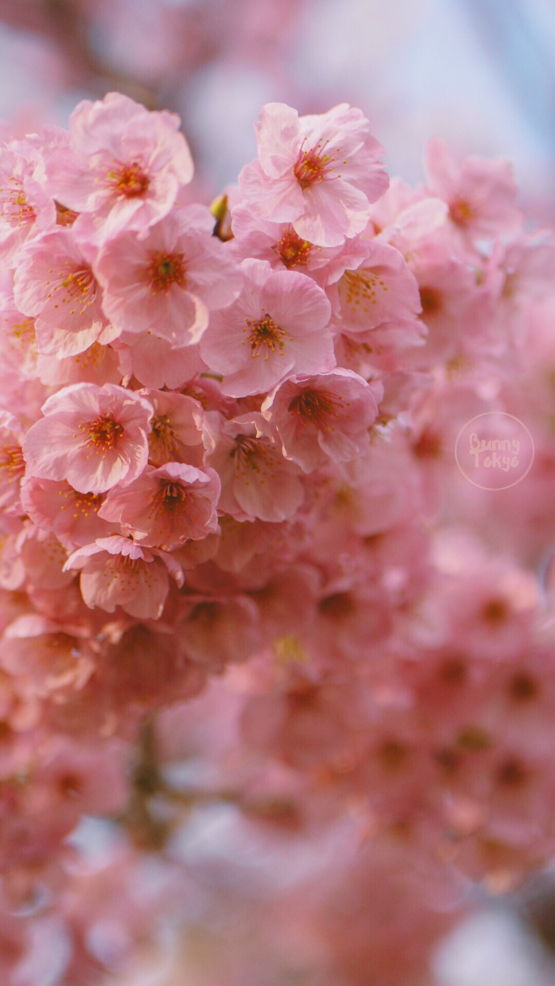 Eight Free Sakura Wallpapers For Your Phone Bunnytokyo
